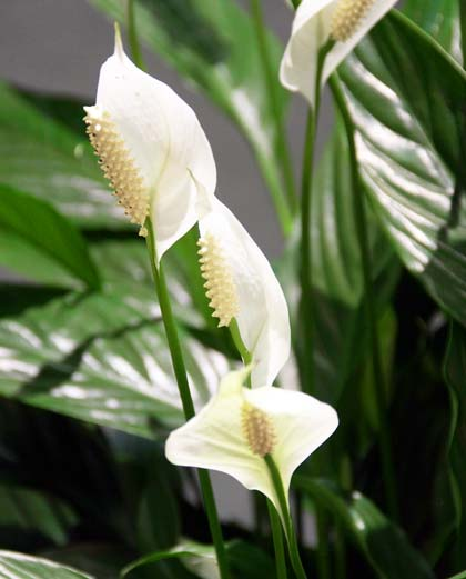 A picture of the remarkable Peace Lily