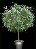 Picture of an Alii Ficus