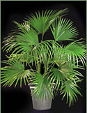 Picture of a Chinese Fan Palm