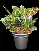 Picture of a Croton