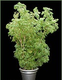 Picture of a Ming Aralia